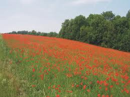Klaprozenveld in Vlaanderen