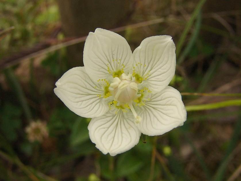 parnassia palustris-parnassia-08
